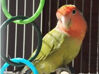 Lovebird for sale with cage,food ect.