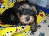 Purebred Yorkshire Terrier (Yorkie) Puppies for sale