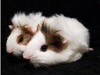2 Gorgeous Male Baby Guinea Pigs