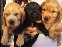 *BEAUTIFUL COCKER SPANIEL PUPPIES - FULL PEDIGREE* £500.00