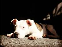 Large Staffordshire Bull Terrier puppy8 months old