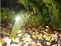 Snails, tropical aquarium, algae eater