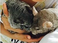Chinchillas (2boys)