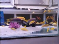 Yellow labs juvenile Malawi Cichlids 6 for £20