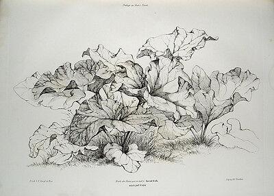 Conrad Grefe Huflattich Korbblütler Blüte Heilpflanze Botanik Aster Blatt Plant