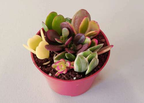 """Assorted Jade Succulent Plant Cuttings in a 4"""" Pot"""