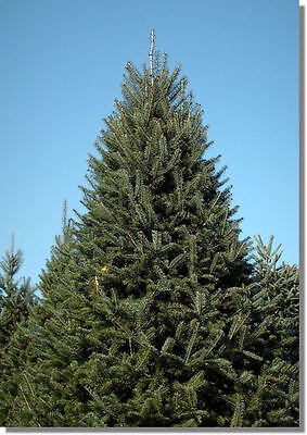PINE TREE (BALSAM FIR)    10 Seeds