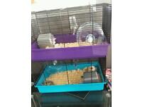 2 syrian hamsters and cages for sale