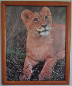 Picture of Baby Lion in Wood Frame (45.5 x 55.8cm) Barden Ridge Sutherland Area Preview