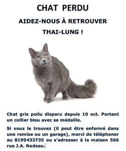 Chat gris poilu Perdu
