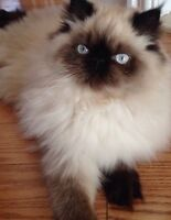 LIST OF RESERVATION----HIMALAYANS KITTENS with blue eyes