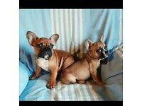 For sale french bulldogs female and male