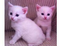 White female kitten