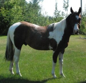 2015 Tobiano Paint Stud For Sale