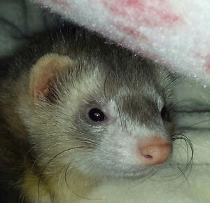 Looking to Adopt a FERRET