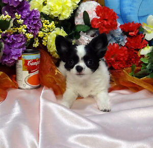 Long Haired Chihuahua Babies  Litter trained CKC REG