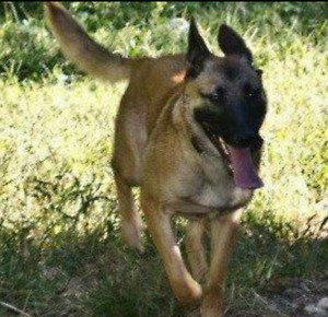 Looking for special home, Belgian Malinois