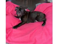 French bull dog female 5 months old