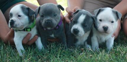 Blue Purebred English Staffy Pups