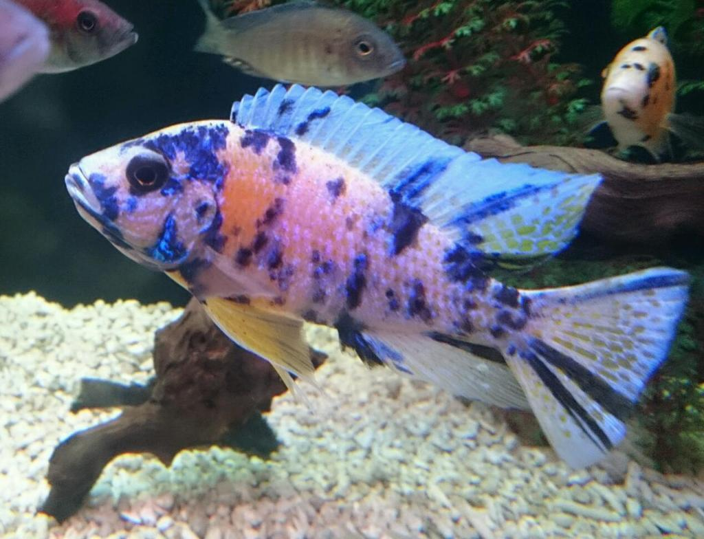 Cichlid peacock calico male stunning in every way 5 for Best white fish