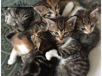 Tabby and Calico kittens