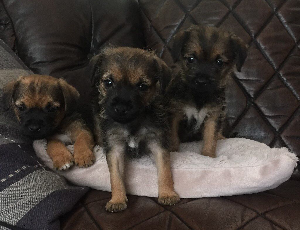 Border Terrier Puppies 8 weeks old | in Filey, North Yorkshire ... | Border Terrier Puppies For Sale Sunderland