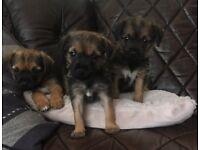 Border Terrier Puppies 8 weeks old