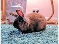 Lionhead Rabbit (male)