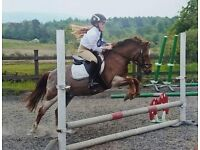 12hh Pony for Share