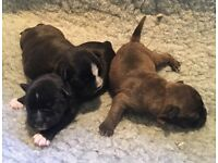 Boston Terrier X Mini Snauzer Puppies (Mini Bowz) Male & Female available, black/white & brindle