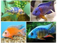 Fish Various Cichlids 1-2 Inch -- £3