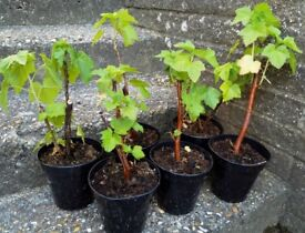 Blackcurrant plants