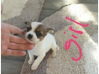 Two jack russel pups for sale