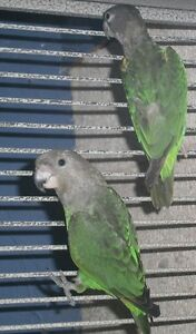 Senegal and Brownhead Parrots
