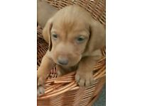 Beautiful Hungarian Pedigree Vizsla looking for a new home!