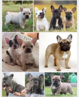 French bulldog wanted Alkimos Wanneroo Area Preview