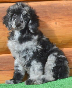 REGISTERED  MOYEN/STANDARD  POODLE PUPPIES  MERLES OR REDS  !