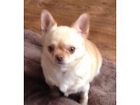 Gorgeous Adult Female Chihuahua looking for a special home