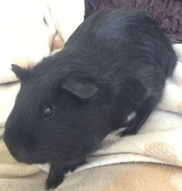 Black Guinea Pig to giveaway