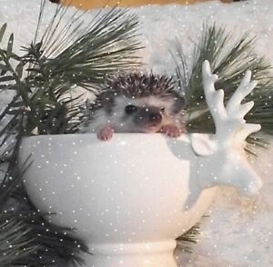 Hedgehog (Babies and Adults from $50.00)