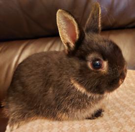 Baby Netherland Dwarf Rabbit with starter hutch