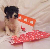 Super Cute Tiny Bichon x Shih Tzu puppies