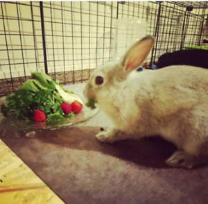 Male, Silver/Grey, Netherland Dwarf Rabbit (5 months old)