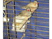 two zebra finches around 2yrs old