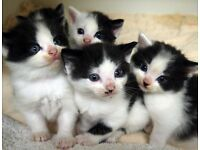 Cute Fluffy Kittens For Sale