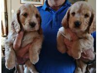 Beautiful KC Registered Cocker Spaniel Puppies