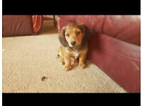 Daschund cross puppy for sale