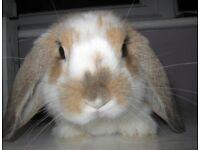 cute 10 week old male lop rabbit !