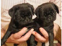 Stunning pug babies ready now to food homes