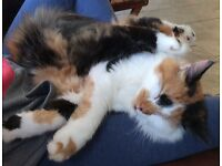 Missing cat, large female, ginger, black and white, please call 07432512560